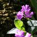 Primula hirsuta ([http://www.florealpes.com/fiche_primeverehirsute.php source])
