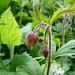 Die Bach-Nelkenwurz (Geum rivale)<br /><br />Info aus Wikipedia:<br /><br />Die mehrjährige krautige Pflanze erreicht Wuchshöhen zwischen 20 und 60 Zentimetern und hat einen locker verzweigten, mehrblütigen Stängel. Die nickenden Blüten haben etwa gleichlange Blütenhüllblätter: außen rötliche (purpur-braune) Kelchblätter und innen gelbe Kronblätter, die am Rand rötlich werden. Es gibt einen braunroten Außenkelch. Die Blüte besitzt mehr als 10 (viele) Staubblätter, der Griffel ist zweigliedrig. Die Klettfrucht mit hakigen Griffeln (bleiben erhalten) ist im Gegensatz zu den Blüten jedoch aufrecht. Die Grundblätter sind lang gestielt und unterbrochen gefiedert - mit großer Endfieder. Die oberen Blätter sind einfach oder gelappt, wobei die Lappen grob gezähnt sind. Die Blütezeit ist von April bis Juli. Die Art ist zirkumpolar verbreitet und fehlt in Europa nur im Mittelmeerraum. Als Standorte werden Feucht- und Nasswiesen, Gräben, Ufer, Auwälder und Hochstaudenfluren mit sickernassen, nährstoffreichen Böden bevorzugt. Die Pflanze dringt in den Alpen bis in 2000m vor. Die Bach-Nelkenwurz gilt als Nährstoffzeiger und bevorzugt kühl-humides Klima. Die Blüten werden von Hummeln bestäubt. Die Pflanze ist schwach giftig. In der Naturheilkunde wird von ihr wie bei der Echten Nelkenwurz (Geum urbanum) die Wurzel verwendet. Sie wirken beide antibakteriell, schweißtreibend, entzündungshemmend und zusammenziehend (adstringierend) und werden bei Magen/Darmerkrankungen und fieberhaften Infekten eingesetzt. Für die antibakterielle Wirkung sind Triterpene und Flavonoide verantwortlich. Der Wurzelstock wurde als Nelkenersatz beim Kochen verwendet und aromatisierte auch Liköre; die Blätter können in Salaten  verwendet werden.<br /><br /><br /><br /><br /><br />