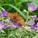 Schmetterling und Hummel bei der Arbeit