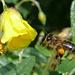 Biene im Anflug.