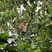 Nasenaffe (jung) in den Bäumen