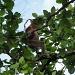 Nasenaffe in den Bäumen