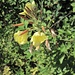 Blühte für mich auch am Tag, die Nachtkerze.<br /><br />Ein weiterer gemeingefährlicher Neophyt, nämmlig!