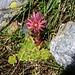 Berg-Hauswurz (Sempervivum montanum).