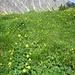 Trollblumenwiese am Zirleseck