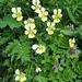 ... und setzt sich fort mit dieser schönen Gruppe von Gelben Alpen-Stiefmütterchen