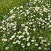 welch ein genussvolles Wandern, an den üppigen Blumenwiesen vorbei!