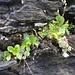 auch wenn bereits verblüht, wirkt diese Blumenkombination im Fels dekorativ