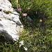 """Schöne Blumenpracht im Aufstieg. Edelweiss hat es nicht gerade """"en masse"""", doch immer wieder!"""