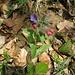 Knolliges Lungenkraut (Pulmonaria montana). Höchst selten, lediglich im Jura häufiger anzutreffen: http://de.wikipedia.org/wiki/Pulmonaria_montana