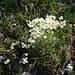Blaugrüner Steinbrech (Saxifraga caesia)