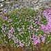 Polsternelke (Silene exscapa)