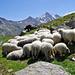 Auch den Schafen gefällts hier