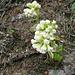 Weiße Pestwurz (Petasites albus)