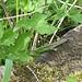 Zauneidechse (Lacerta agilis) mit fehlenden Schwanz