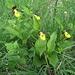 Gelber Frauenschuh (Cypripedium calceolus) - Der Hauptgrund unseres Spaziergangs