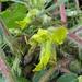 Stengelloser Tragant (Astragalus exscapus) - Unscheinbar, aber eine botanische Rarität !