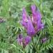 Französischer Tragant (Astragalus monspessulanus)