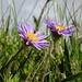 ..einfach weils sie halt so hübsch sind, unsere Alpenblumen!