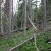 Aufstieg zum Precipice Peak - Der untere Abschnitt führt durch Wald. Umgestürzte Bäume erschweren den Aufstieg.