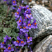 Alpine Toadflax, (Alpen Leinkraut, linaria alpine) (merci [u 360])
