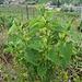 Gewöhnliche Osterluzei (Aristolochia clematitis) - eine seltene und wärmeliebende Pflanze