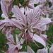 Diptam - Einzelblüte