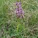 Kleines Knabenkraut (Orchis morio) - Eine weitere Orchidee