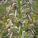 Bocks-Riemenzunge (Himantoglossum hircinum) - Orchidee Nr. 3