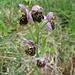 Hummel-Ragwurz (Ophrys holoserica) - zweifelsohne die auffälligste Orchidee des heutigen Tages