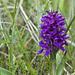 Breitblättrige Fingerwurz (Western Marsh Orchid, Dactylorhiza majalis)<br /><br />