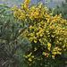 Gelbe Farbenpracht des englischen Ginster