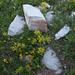Goldprimel oder Spinnweb-Steinbrech: Wer kennt ihren Namen?