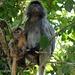 Abschiednehmen von den Silver Leaf Monkeys