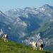 Oberhalb P 2306. Diese Rinder gehören laut Hüttenwartin zur höchstgelegenen Sennhütte des Berner Oberlandes, wo noch Alpkäse hergestellt wird. Im Hintergrund Blick zur Gemmi.