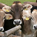 neugierige Kühe der Musteralpe
