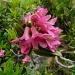 Fiore di rododendro (Rhododendron ferrugineum).