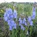 anmutige Gruppe von Bärtigen Glockenblumen