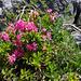 Steiröseli (Rhododendron hirsutum)