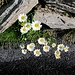 Margeriten in steiniger Umwelt