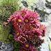 Schönheit auch im Kleinen: Botanisches Potpourri auf dem Gipfel des Chistenstein