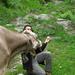 Die Kuh will Put's Sandwich.