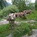 Vom Heli verscheuchte Kühe wollten unseren znüni.