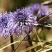 """Herzblättrige Kugelblume<br />""""Globularia cordifolia""""<br /><br />Blütezeit: Mai - Juni<br />Grösse: 2 – 12cm<br />Standort: Felsdurchsetzte Wiesen, Felsspalten, Felsschutt<br />Vorkommen: Gebirge in Mittel und Südeuropa (Pyrenäen bis Balkan)<br />"""