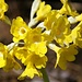 "Flueblume / Alpenaurikel<br />""Primula auricula""<br /><br />Blütezeit:April – Juni<br />Grösse:5 – 10cm<br />Standort:Kalkfels, kalkhaltige Böden<br />Vorkommen:Europa, Alpen, Alpenvorland<br />"