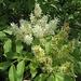 Blütenstand der Blumen-Esche, Manna-Esche (Fraxinus ornus)