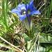 Clusius-Enzian, Kalk-Glocken-Enzian (Gentiana clusii)