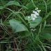 Das Schattenblümchen (Maianthemum bifolium) - verwandt mit dem Maiglöckchen