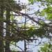 Suchbild: in Bildmitte der typische Kopf mit roten Lappen eines Birkhuhnes