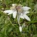 Alvetern (Edelweiss)
